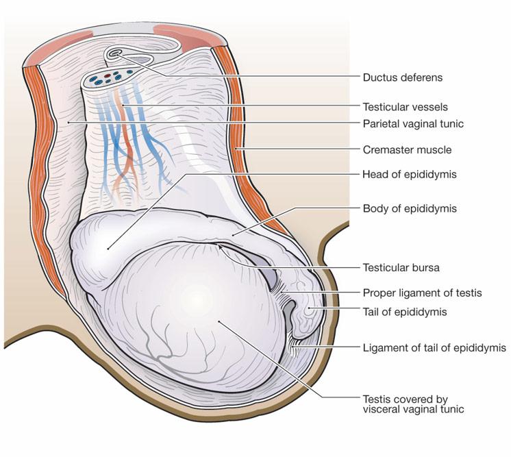 Castration of testis sperm